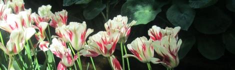 tulips 470x140